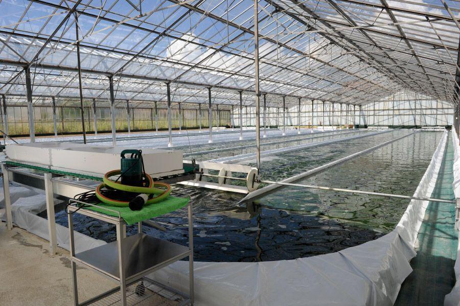 Cultivar algas espirulina un negocio rentable en auge for Como criar cachamas en tanques plasticos