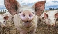 Cria de cerdos un negocio con futuro, Rentabilidad, Instalaciones